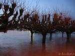 Hochwasser am 10.1.11 - Bäume am Rheinufer