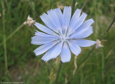 Blume am Rhein Beuel