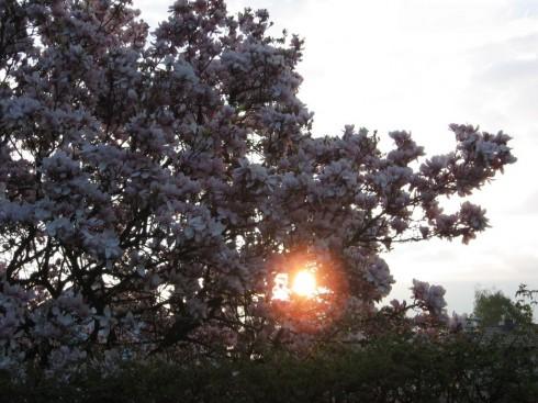 Tulpen-Magnolie - Sonnenaufgang am 11.04.09