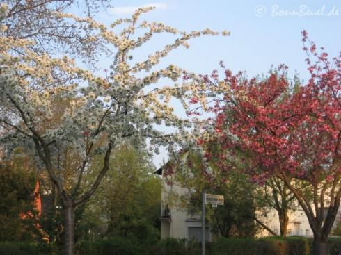 Kirschblüte in Beuel (Heinrich-Heine-Straße)