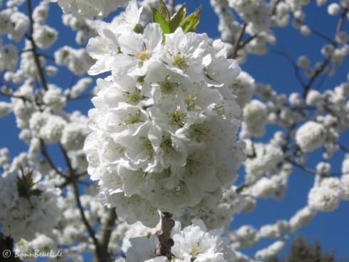 Projekt 52: Wahnsinn - Kirschblüte