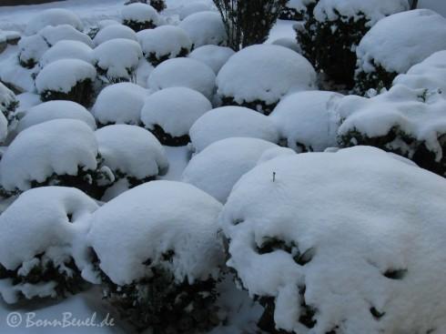 Schneehügel auf kleinen Buchsbäumen